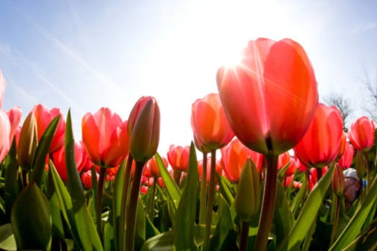 The Tulip - its history and morphology